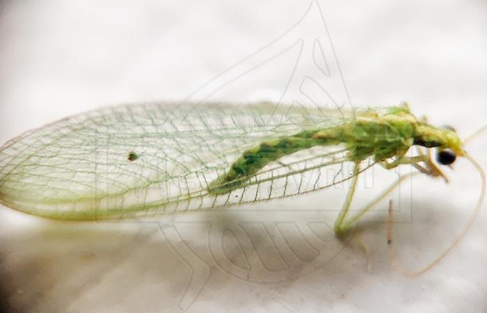 Зеленые мошки с прозрачными крыльями