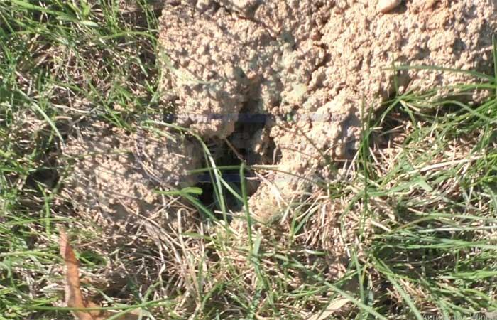 Как бороться с земляными крысами на огороде?