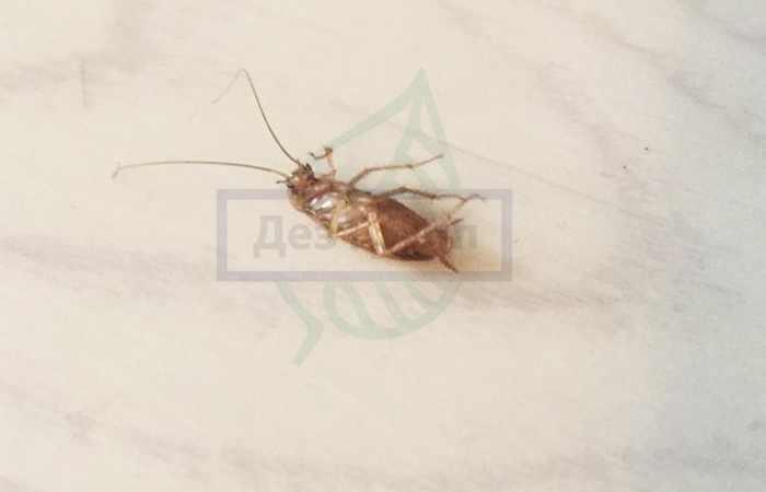 Роспотребнадзор предупреждает о возможном нашествии тараканов