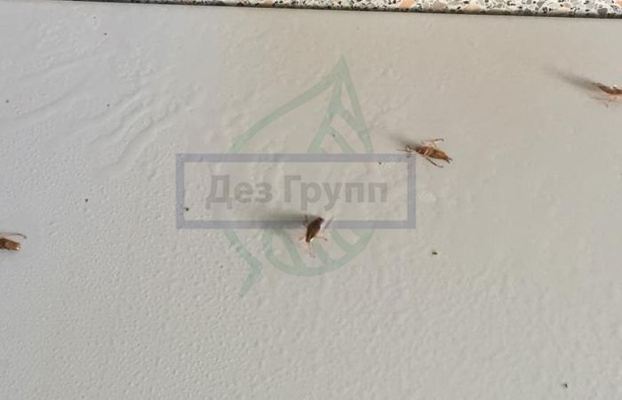 Тиурам купить в Москве от тараканов