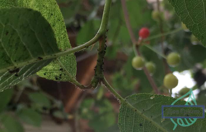 Комплексная весенняя обработка сада от вредителей и болезней