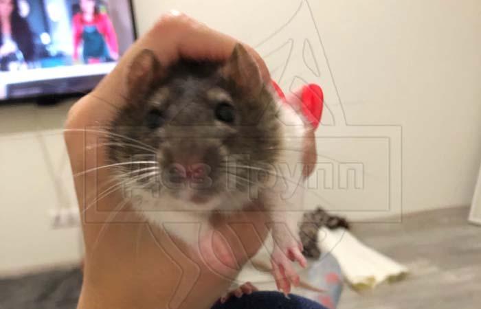 Нападают ли крысы на людей