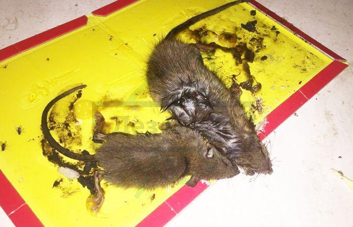 Отрава для крыс мумифицирующая