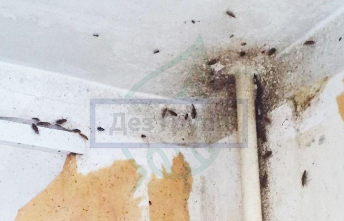 Чем опасна плесень в квартире для человека