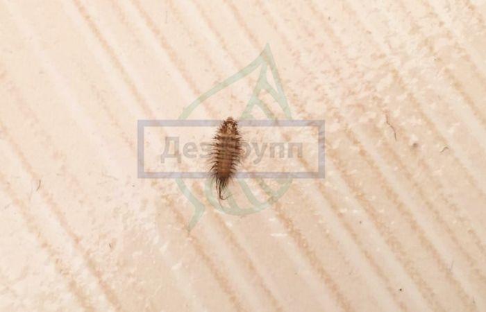 Кожеед - фото насекомого